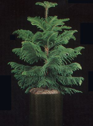Pay for Plant Care Instruction eBook for Norfolk Island Pine / Araucaria Hetrophylla (pdf)