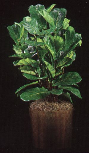 Pay for Plant Care Instruction eBook for Fiddle Leaf Fig / Ficus Lyrata  (pdf)