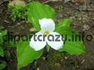 Thumbnail Trillium Flower - Ontario Canada