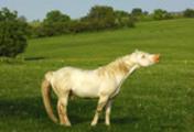 Thumbnail Flehmening Hanoverian stallion