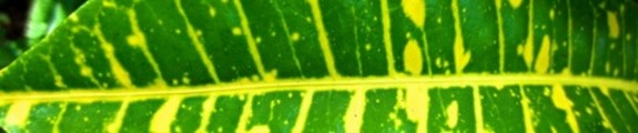 Thumbnail Green and Yellow Croton Leaf, web banner photo