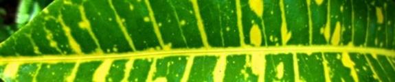 Thumbnail Green and Yellow Croton Leaf, web banner photo