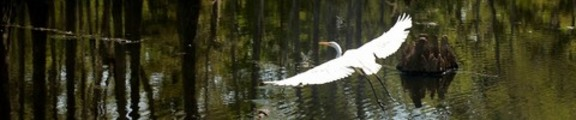 Thumbnail Flying egret, web banner photo