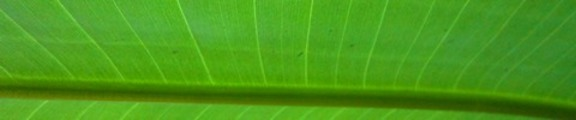 Thumbnail Bird of Paradise Leaf, Web Banner Photo