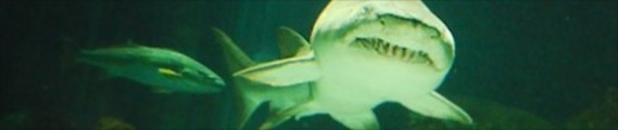Thumbnail Menacing Shark in the water, web banner photo
