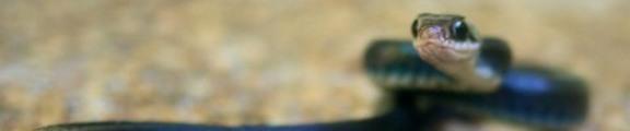 Thumbnail Black Snake portrait, web banner photo