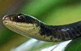 Thumbnail Black Snake at rest