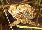 Thumbnail Erdkröten