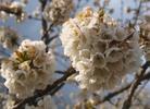 Thumbnail Kirschblüte
