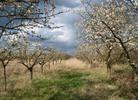Thumbnail Obstbäume mit Kirschblüten