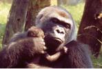 Thumbnail Gorilla