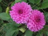 Thumbnail Blüte 6