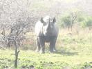 Thumbnail Single Rhino Image Taken In Southern Africa