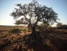 Thumbnail Beautiful Tree Image - Swartkop