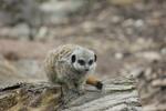 Thumbnail Meerkat On A Log - Stock Photo