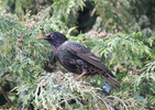 Thumbnail Starling in a tree - bird stock photo #stockphoto
