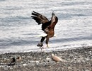 Thumbnail Bald Eagle In Flight