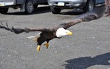 Thumbnail Bald Eagle Coming In For A Landing #2