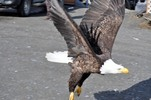 Thumbnail Bald Eagle Coming In For A Landing #3