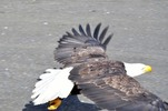 Thumbnail Bald Eagle Coming In For A Landing #4