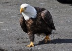 Thumbnail Bald Eagle Out For A Stroll