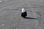 Thumbnail What? Bald Eagle