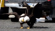 Thumbnail Bald Eagles Love Dance