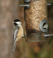 Thumbnail Black Capped Chickadee Bird Caller.mp3