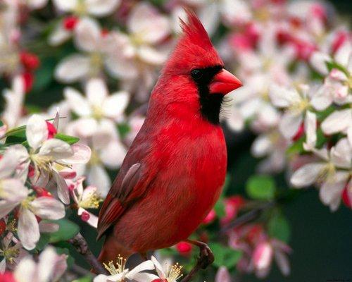 Pay for Cardinal Bird Caller.mp3