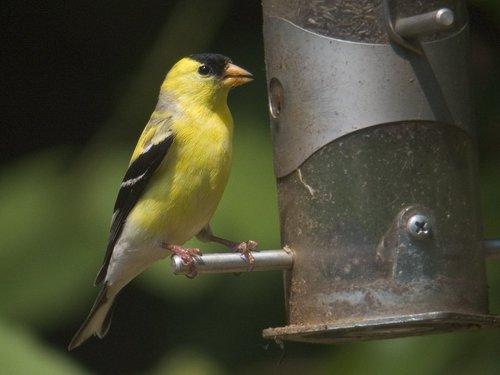 Pay for Goldfinch Bird Caller.mp3