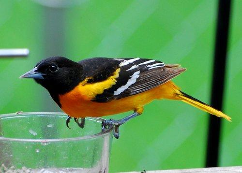 Pay for Oriole Bird Caller.mp3