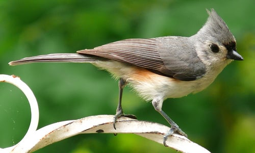 Pay for Tufted Titmouse Bird Caller.mp3