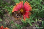 Thumbnail Indian Blanket (Gaillardia pulchella) with butterfly stock