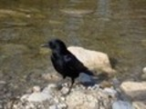 Thumbnail Raven