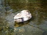 Thumbnail Schwan im Fluss