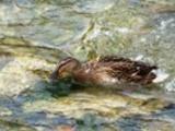 Thumbnail Mallard Duck Anas Platyrhynchos