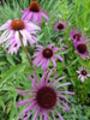 Thumbnail Echinaceae