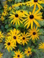 Thumbnail Echinacea