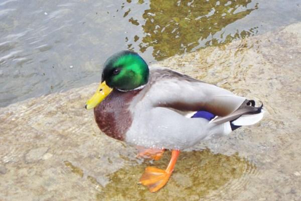 Pay for Mallard Duck Anas Platyrhynchos