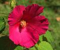 Thumbnail Hibiscus Flower Bloom