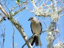 Thumbnail Mocking Bird