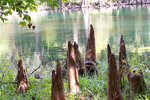 Thumbnail Santa Fe River and Cypress Knees