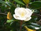 Thumbnail Southern Magnolia Bloom