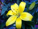 Thumbnail Yellow Lily