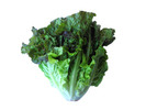 Thumbnail Lettuce Stock Photo - Royalty Free Image