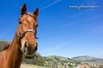 Thumbnail Horse, Klentnice, Palava