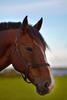 Thumbnail Pferd