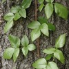 Thumbnail Cure Poison Ivy Naturally