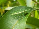 Thumbnail Animal Camouflage - Baron Caterpillar