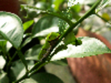 Thumbnail Orange Dog Caterpillar On Orange Leave